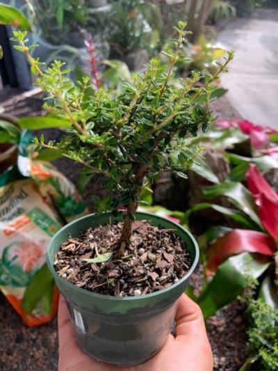 Rockledge Gardens Bahama Berry Bonsai Start 4 Pot